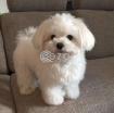 Kc Registered Maltese Puppies photo 1