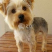 Yorkshire Terrier brought from France photo 2