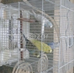 FREE; Colorful & Healthy Birds 2 Pairs with Cage photo 1