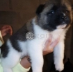 Japanese Akita Puppies photo 1