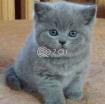 British shorthair kittens for sale photo 1