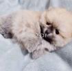 Beautiful Pomerania Puppies for free adoption photo 2