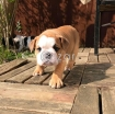 English bulldog  puppies photo 3