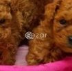 Toy poodle puppies for rehoming photo 1