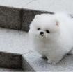 Tiny Gorgeous Pomeranian Pups photo 1
