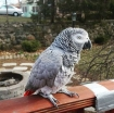 Adorable African Grey Parrots for sale photo 1