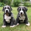 Pitbull Puppies For photo 1
