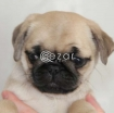 Beautiful Pug Puppies available now photo 2