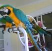Golden Macaw  parrots photo 2