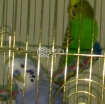 Budgie Birds male and female 1yr old photo 1