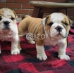 English Bulldogs for sale photo 1