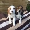Champion Beagle Puppies photo 1