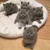 British Short Hair Kittens for Rehoming photo 1