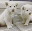 Lion cubs for sale photo 1