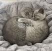 Scottish fold kitten photo 1