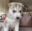 Beautiful Siberian husky puppies photo 1
