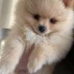 Beautiful Pomerania Puppies for free adoption photo 3