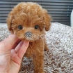 Toy Poodle Puppies For New owners photo 1