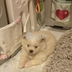 Beautiful Male and Female Pomeranian Puppies for sale photo 2