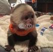 Capuchin monkeys for sale photo 1
