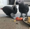 African Grey Parrot For Sale photo 1