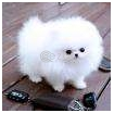 Pomeranian puppies photo 1