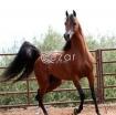 Arabian Horse for sale photo 1