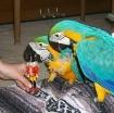 Golden Macaw  parrots photo 1
