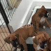 kc registered boxer puppies photo 1