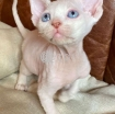 Sphynx kittens for sale photo 1