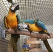 Macaw parrots for sale photo 1