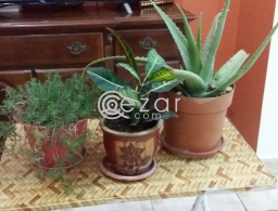 Plants urgent sale for sale in Qatar