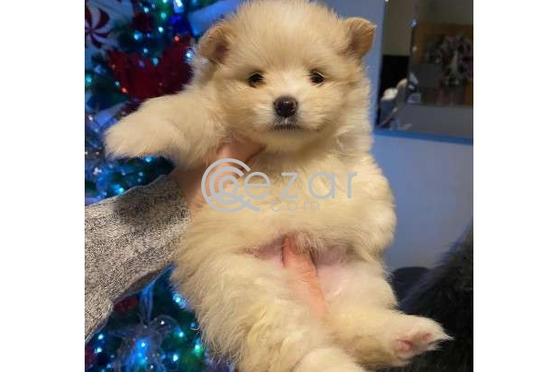 Beautiful Male and Female Pomeranian Puppies for sale photo 1