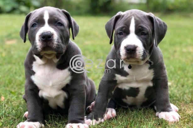 Pitbull puppies for sale photo 1