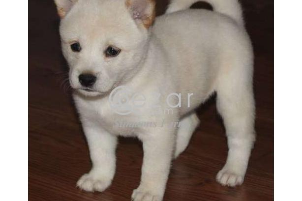 Shiba Inu puppies photo 1