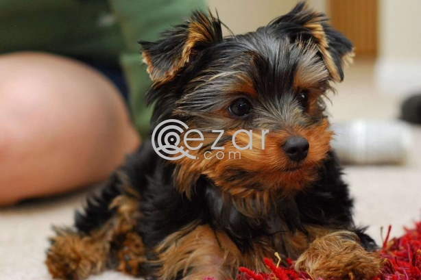 Yorkie and poodle Puppies for adoption photo 1