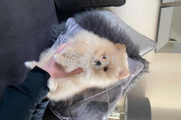 Beautiful Pomerania Puppies for free adoption photo 4