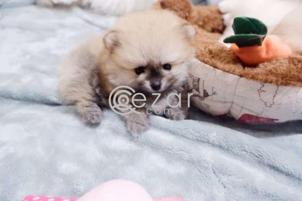 Beautiful Pomerania Puppies for free adoption photo 1