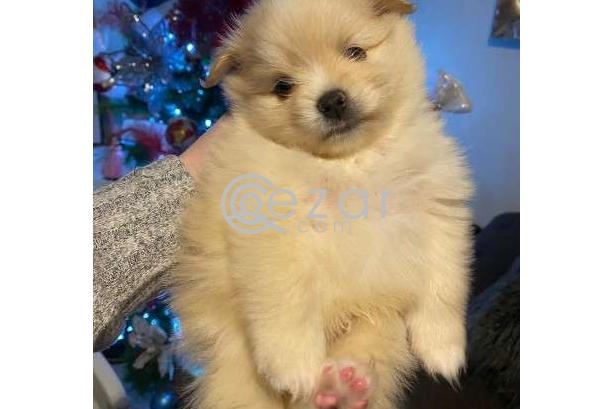 Beautiful Male and Female Pomeranian Puppies for sale photo 3