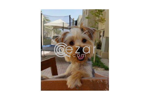 Yorkshire Terrier brought from France photo 1
