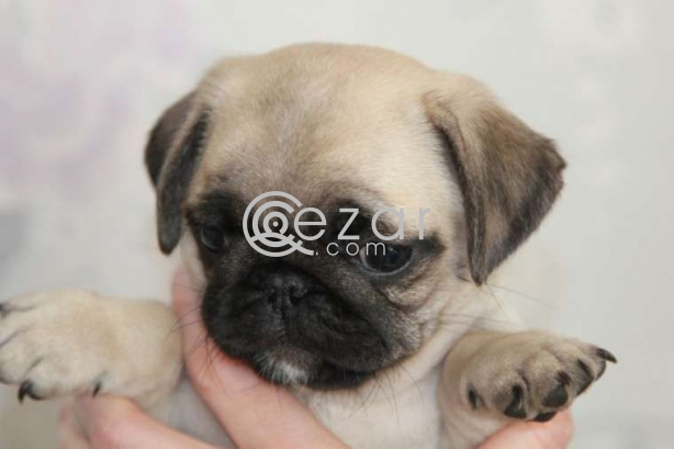 Beautiful Pug Puppies available now photo 1