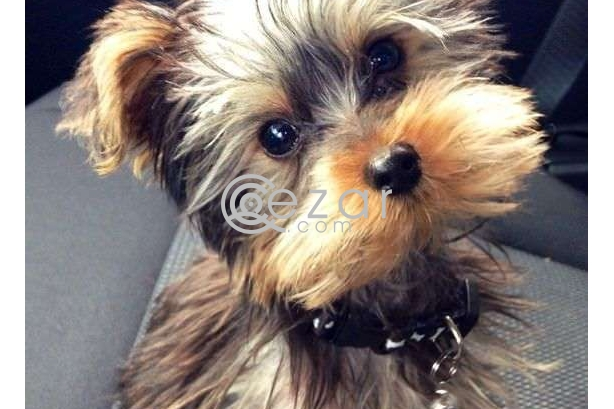 Yorkie Puppies For Rehoming photo 1