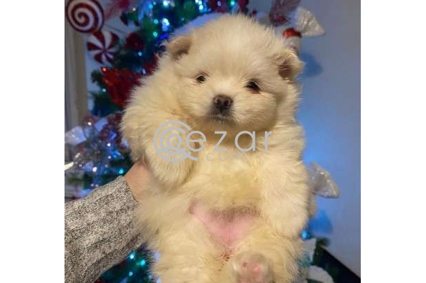 Beautiful Male and Female Pomeranian Puppies for sale photo 4