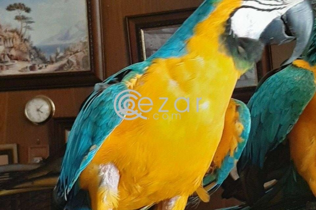 Macaw Blue and Gold Parrot for sale photo 1