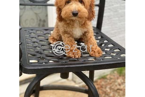 cockapoo puppies for sale photo 1