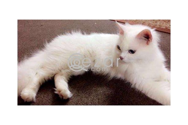 White Feline Cat for sale photo 1