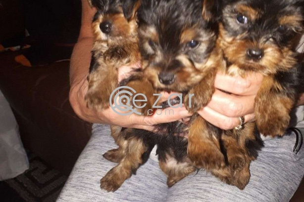 Miniature Yorkshire Terrier Puppies photo 1